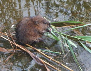 Pity, that young and fresh beavers