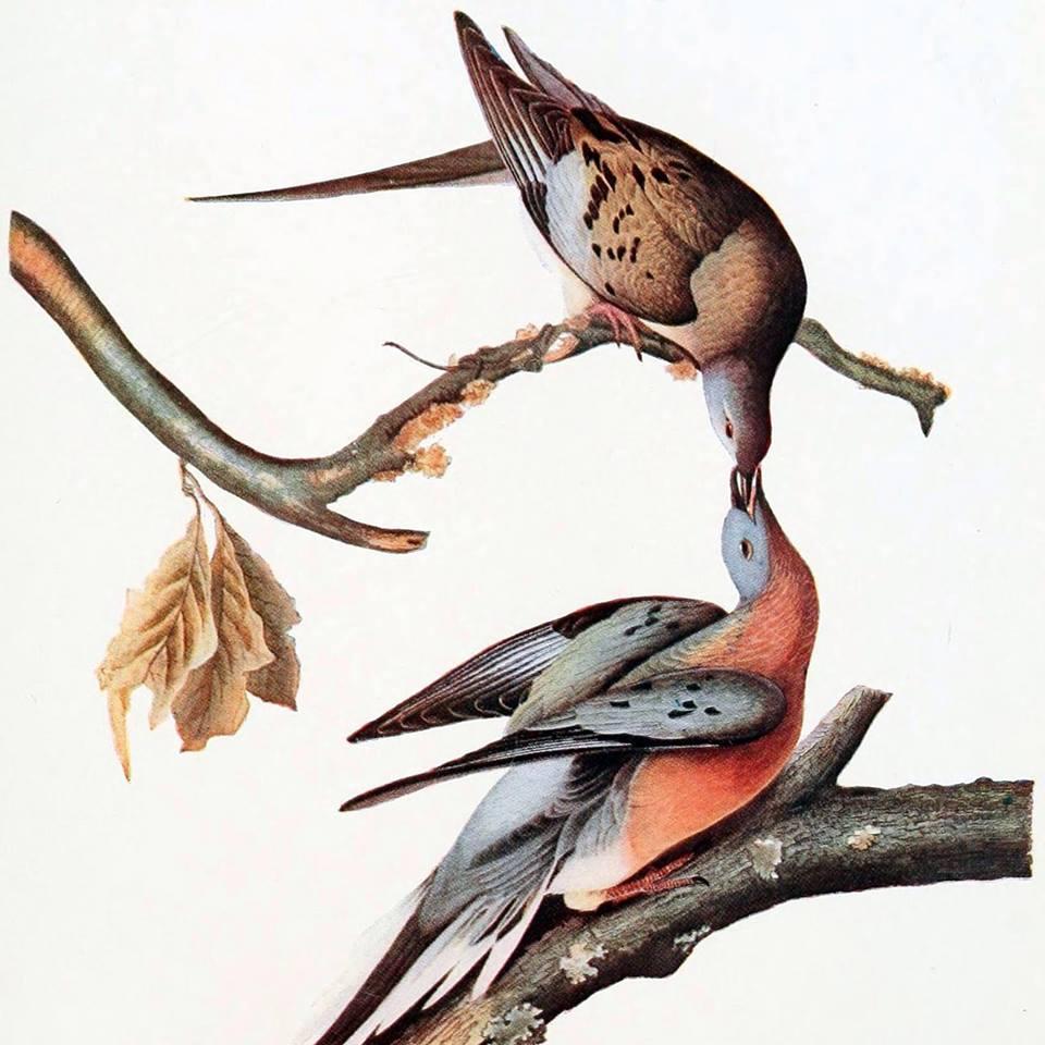 John J Audubon's Passenger Pigeon