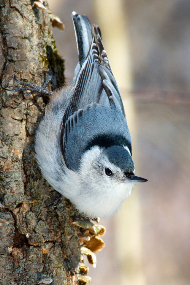 White-breasted nuthatch, copyright Rob Griffith
