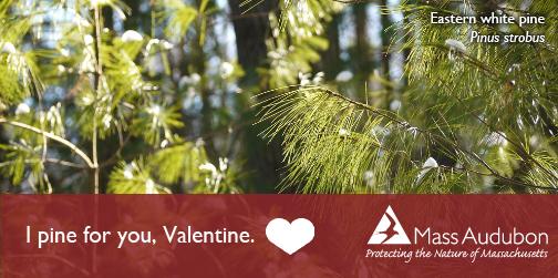 valentine_pine
