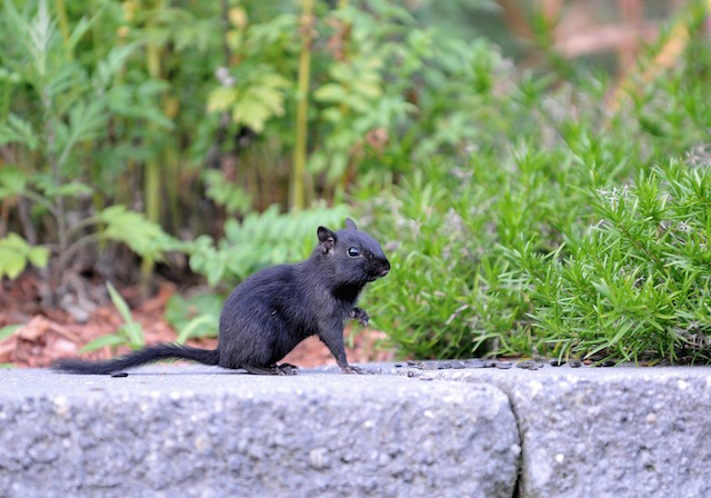 A rare melanistic chipmunk, 2011 Photo Contest Entry © Katharine Wall