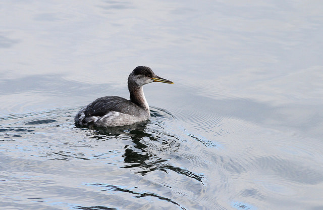 Red-necked grebe CC BY 2.0 by Fyn Kynd
