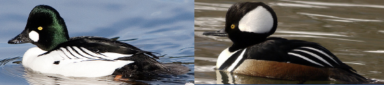 Male common goldeneye (left) and male hooded merganser (right). Credits NPS and R Mosco