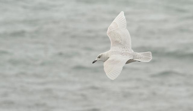 Iceland gull © Ryan Schain