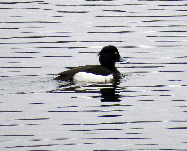 Tufted duck in Lowell © Christine Sheridan