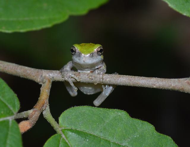 Young gray treefrog, 2013 Photo Contest Entry © Suzette Johnson
