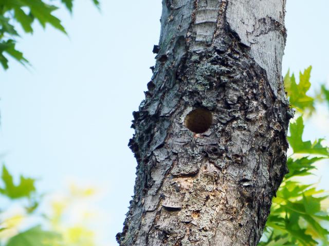 Downy woodpecker nest hole