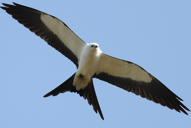 Swallow-tailed kite in Truro © Peter Flood