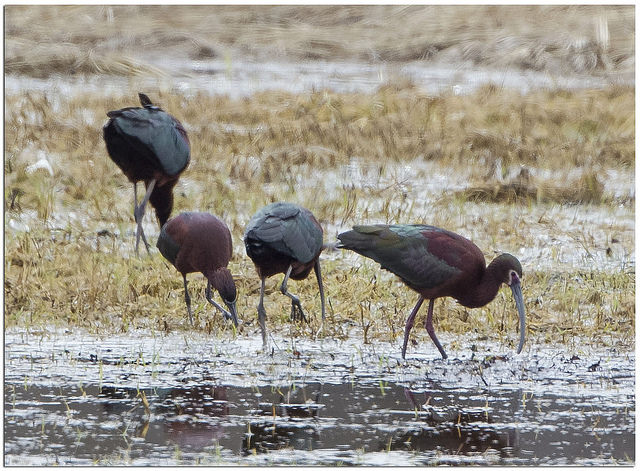 White-faced ibis in Essex CC Phil Brown