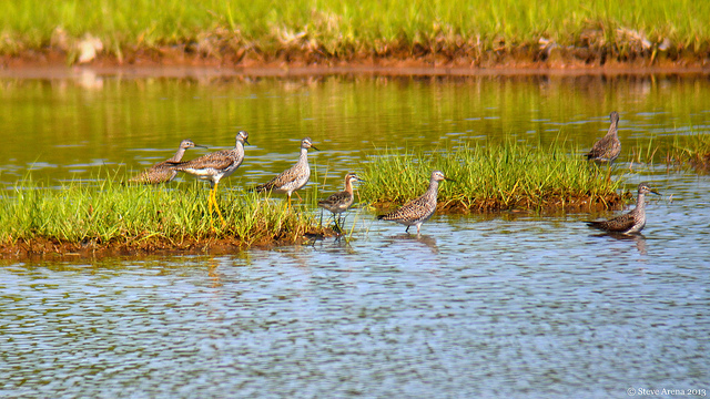 Wilson's phalarope (flanked by greater yellowlegs) in Rowley © Steve Arena