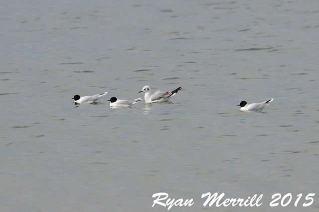 Little gulls (and one Bonaparte's gull), Hatches Harbor, Race Point, Provincetown © Ryan Merrill
