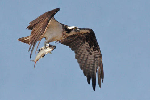 Osprey via USFWS