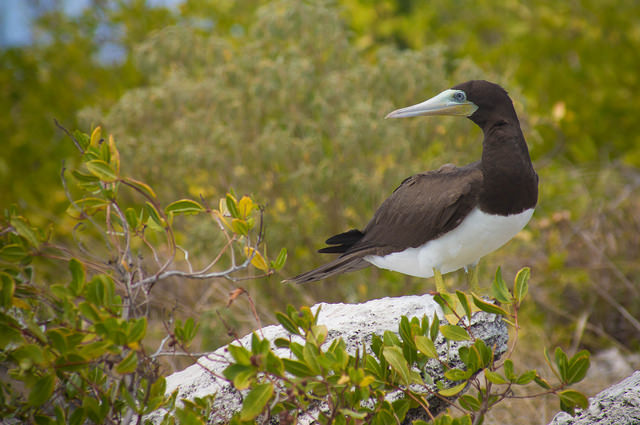 Brown booby in a more tropical locale, CC BY-NC-ND 2.0 Mark Yokoyama