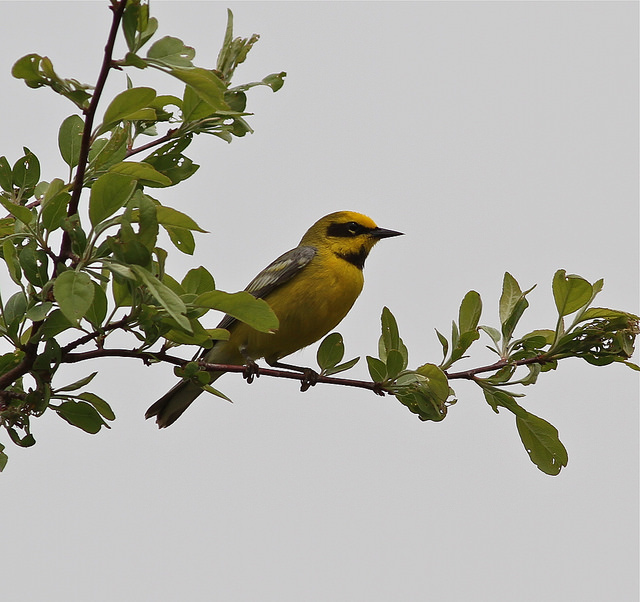 Lawrence's warbler in West Newbury © Margo and Steve, webirdtoo