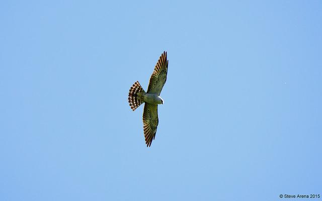 Mississippi kite, Westboro © Steve Arena