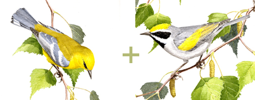 Blue-winged warbler (left), golden-winged warbler (right) by John Sill