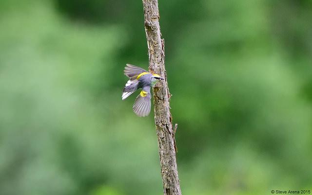 """""""Brewster's"""" warbler ©  Steve Arena"""