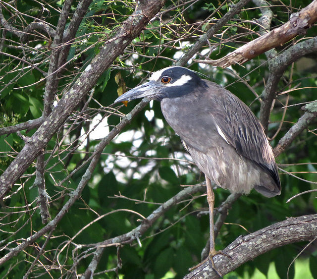 Yellow-crowned night heron in Ipswich © Nathan Dubrow