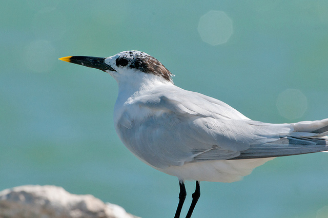 Sandwich Tern in Mexico  (CC BY-NC-ND 2.0)  Sergey Yeliseev