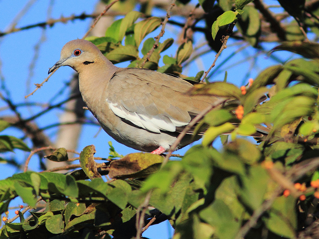 White-winged dove in Florida (CC BY-NC-ND 2.0) Kenneth Cole Schneider