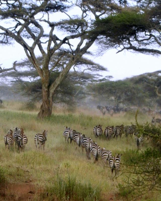 Zebras migrating at end of day, Serengeti National Park © Barbara Centola
