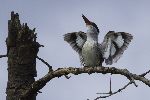 Striped kingfisher, Serengeti National Park, Tanzania © James Timmons