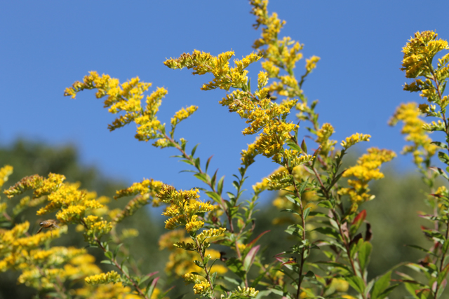Goldenrod © Robin Young