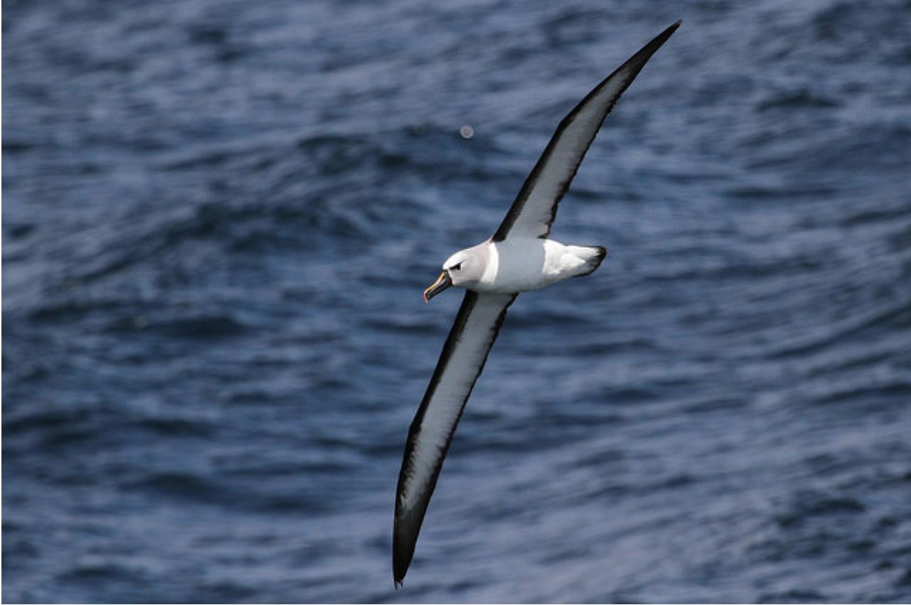 Yellow-nosed albatross (Atlantic) © François Grenon