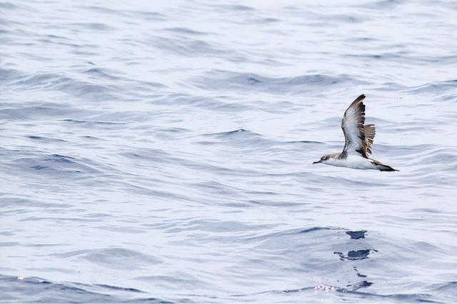 Audubon's shearwater © Jeremiah Trimble