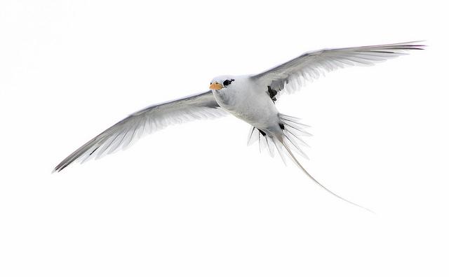 White-tailed tropicbird © Jeremiah Trimble