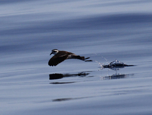 White-faced storm petrel © Lanny McDowell