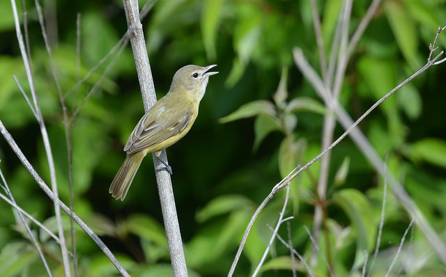 Bell's vireo (CC BY 2.0) Andy Reago and Chrissy McClarren