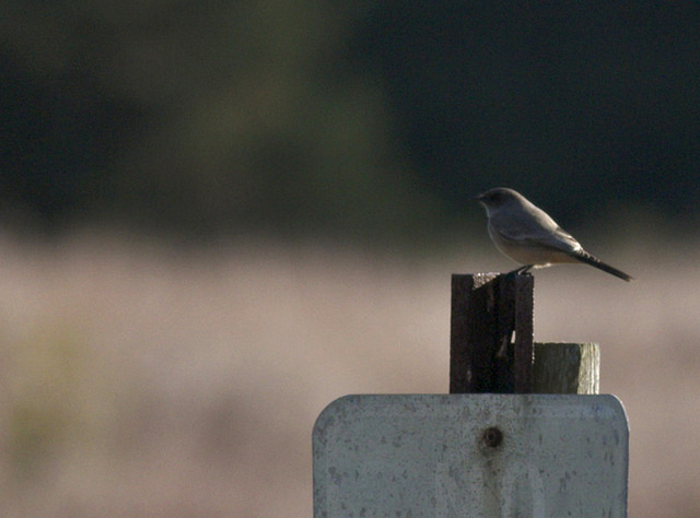 Say's phoebe in Eastham © Ben Lagasse