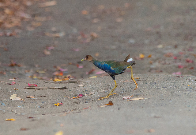Purple gallinule at Westborough WMA © Justin Lawson