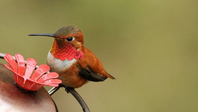 Rufous hummingbird in Seattle (CC BY-NC 2.0) Minette Layne