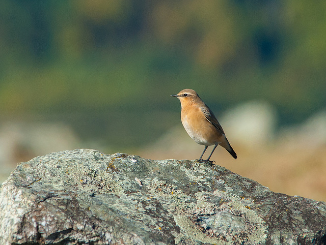Northern wheatear at Wachusett Reservoir © Justin Lawson