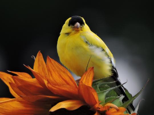 American goldfinch, Canoe Meadows, 2013 Photo Contest Entry © Sandra G. Leonard