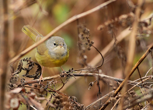 MacGillivray's warbler in Lexington © James P. Smith
