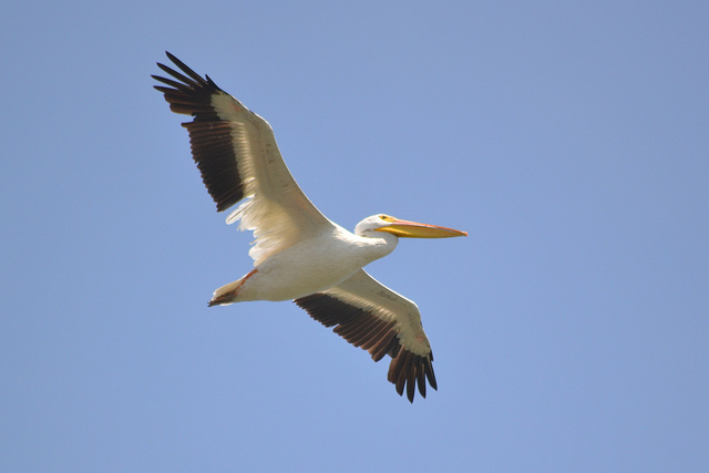American white pelican in Michigan (CC BY 2.0) Andrew C