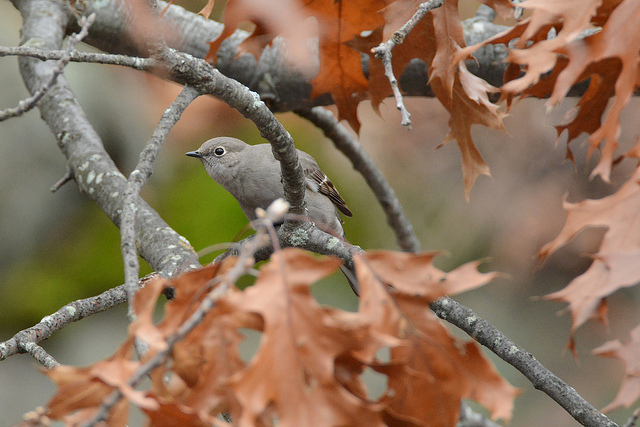 Townsend's solitaire at Halibut Point State Park © Ted Bardford