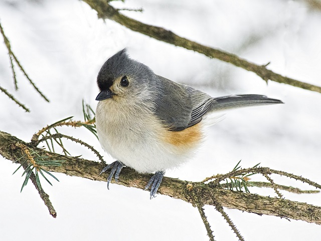 Tufted titmouse © Lee Fortier