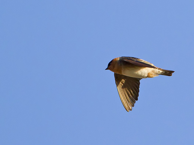 Cave swallow in Salisbury back in 2010 (CC BY-NC-ND 2.0) nebirdsplus