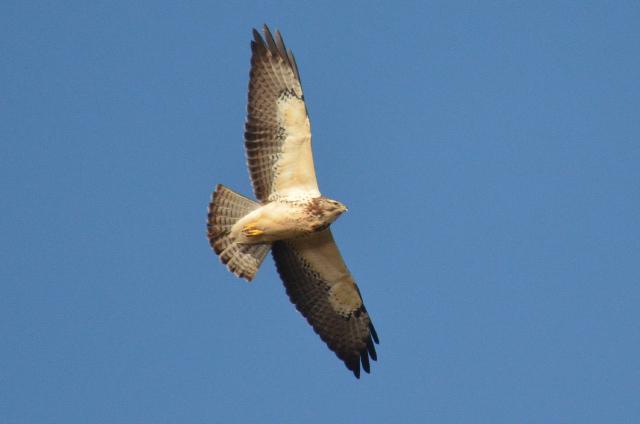 Swainson's hawk © Andrew Hrycyna
