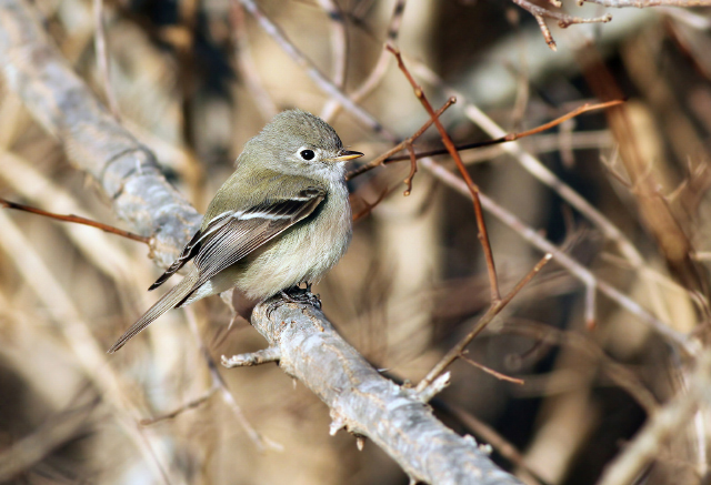 Hammond's flycatcher in © Jeremiah Trimble