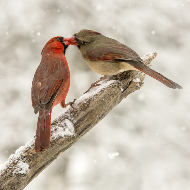 Northern cardinals, 2015 Photo Contest Entry © Janet MacCausland
