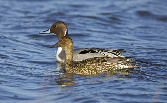 Northern pintails, 2012 Photo Contest Entry © Ken DiBiccari