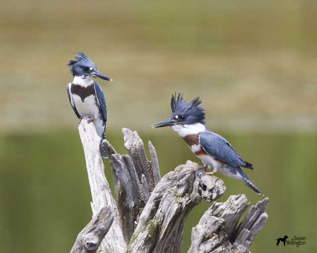 Belted kingfishers, 2015 Photo Contest Entry © Susan Wellington