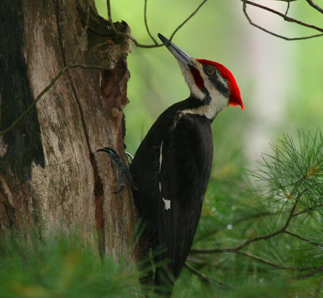 Pileated woodpecker © Kim Nagy