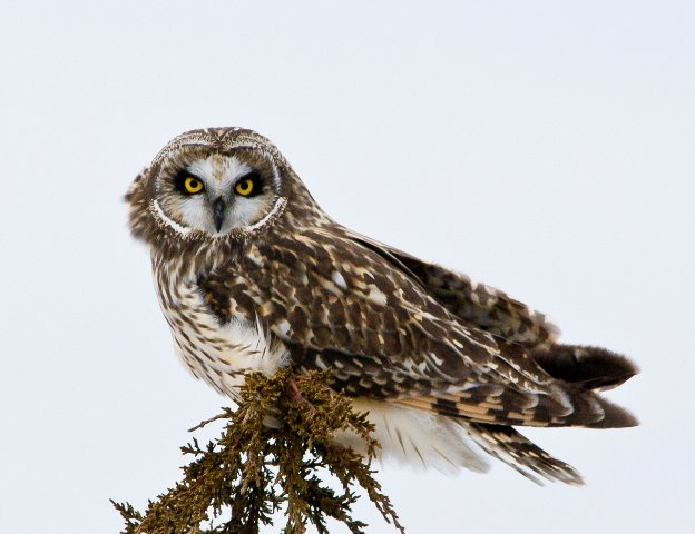 Short-eared owl © Jim Sonia