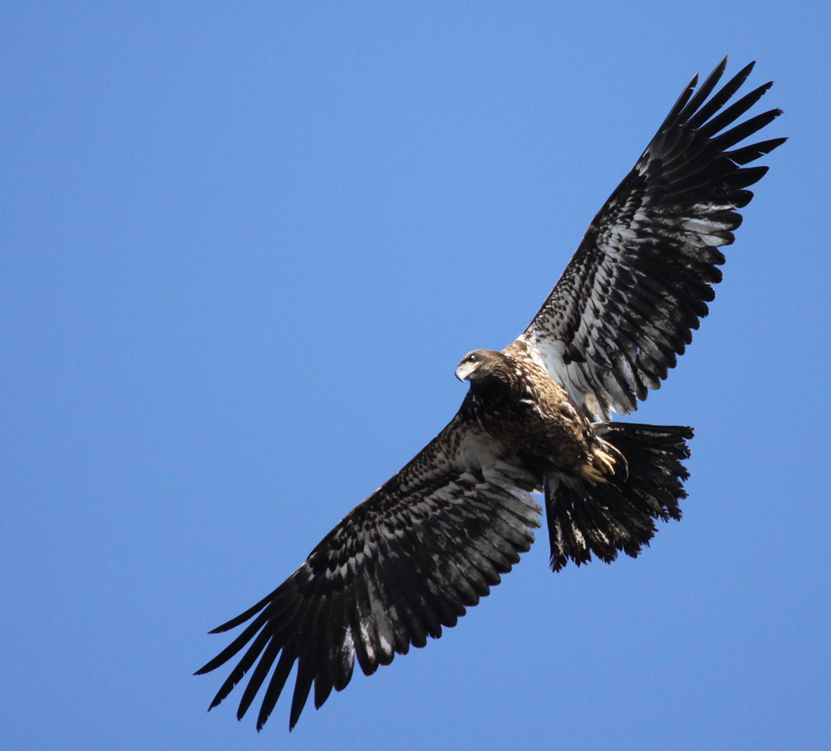 Joppa immature bald eagle photo by David LarsonBAEA-imm1-DLarson